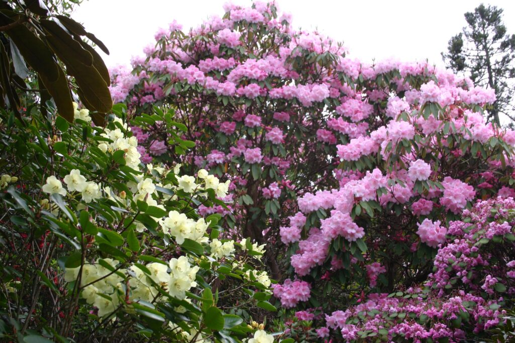 Rhododendrons wardii and Loderi